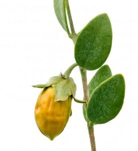 benefits of jojoba oil